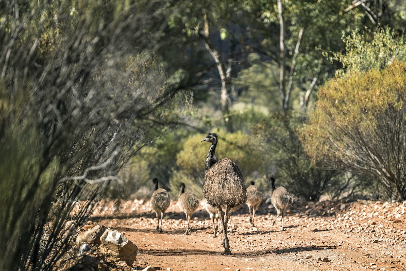 The work of the rangers caring for the Nantawarrina Indigenous Protected Area supports a variety of iconic Australian animals. Credit Annette Ruzika and Country Needs People.